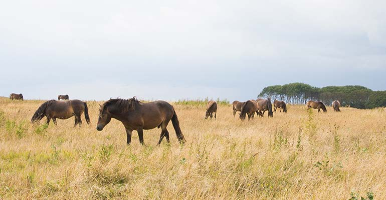 Wildpferde in Dänemark